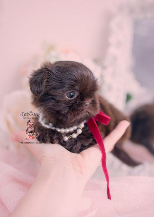 Puppies For Sale Near Me Shih Tzu Puppies For Sale Near Me Puppies Puppies For Sale Near Me Puppies For In 2020 Teacup Puppies Teacup Puppies Maltese Puppies