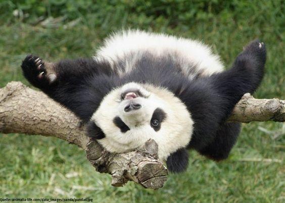 Panda-Bär liefert eine sexy Show in freier Wildbahn: er masturbiert und befriedigt sich selbst  Interessante Neuigkeiten aus der Welt auf BuzzerStar.com : BuzzerStar News - http://www.buzzerstar.com/pandabaer-liefert-eine-sexy-show-in-freier-wildbahn-er-masturbiert-und-befriedigt-sich-selbst-ce4c17853.html
