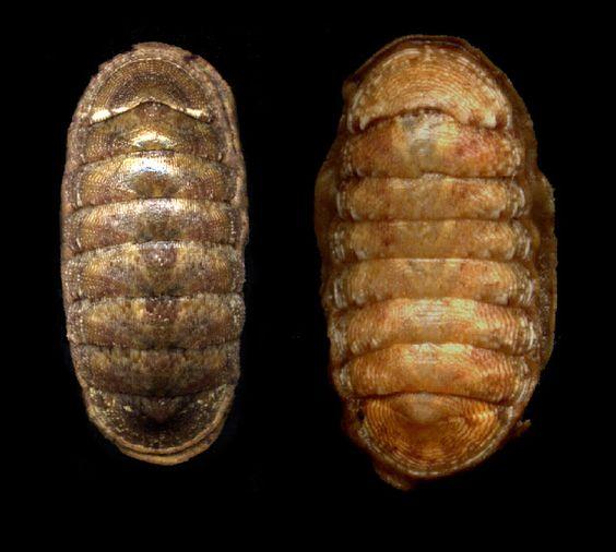 Ischnochiton rissoi Payraudeau, 1826 Bastante frecuente en Cabo Roig C. Roig donde aparecen ejemplares que superan los 25 mm.