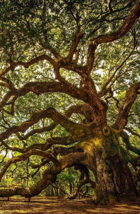 Carvalho Anjo na ilha de John, Carolina do Sul. Esta árvore fica perto de Charleston e tem mais de 1000 anos de idade. Ele tem resistido inundações, secas, incêndios e furacões. Uma árvore bastante impressionante.  Fotografia: Serge Skiba / via Shutterstock.