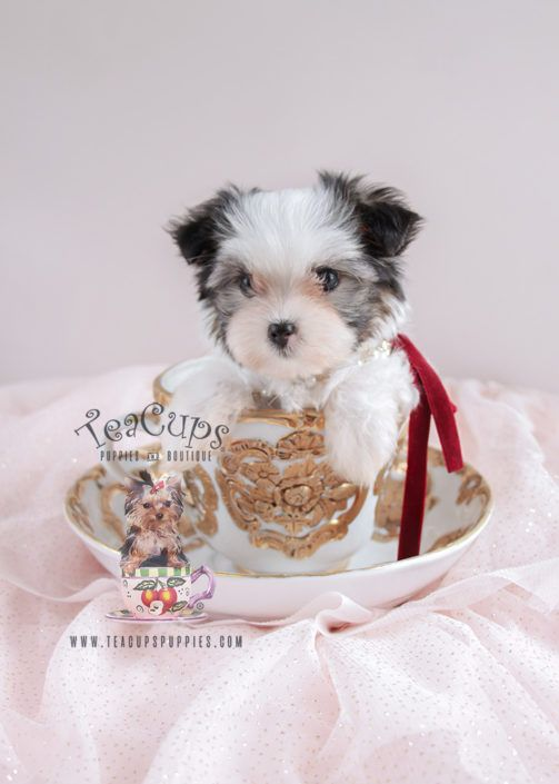 For Sale 079 Teacup Puppies Biewer Yorkie Puppy Teacup Puppies