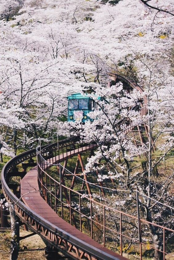 When To See Japan S Cherry Blossom Trees In Full Bloom Cherry Blossom Japan Japan Travel Sakura Tree