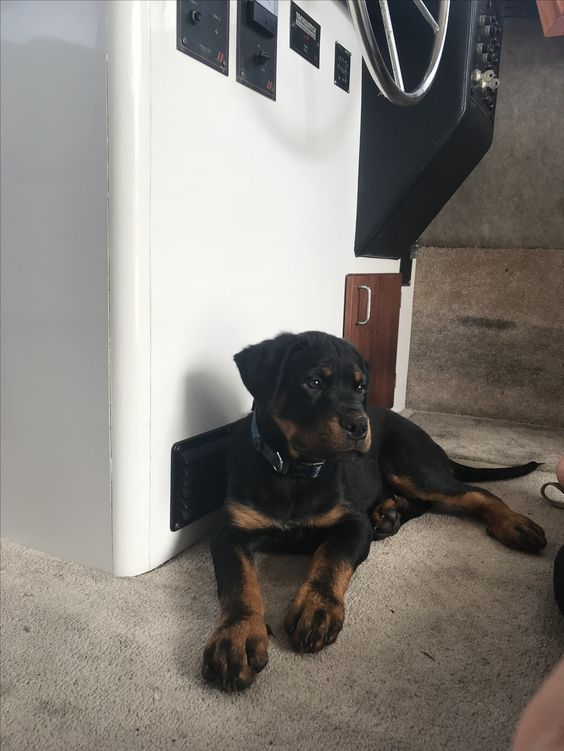 Pin By Phil Kemp On Rottweilers In 2020 Rottweiler Lovers