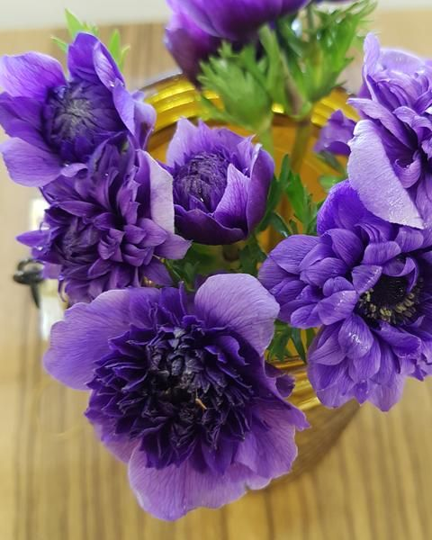 Anemone Full Star Blue Spring Plants Green Leaves Bloom