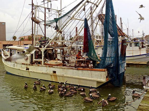 Shrimp Boat in port with pelicans and sea gulls begging