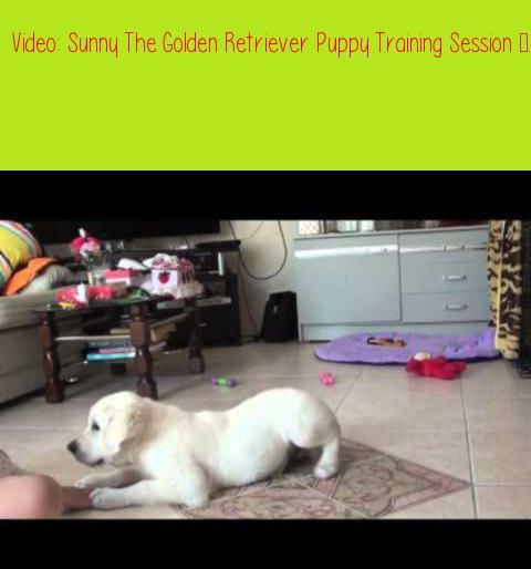 Sunny The Golden Retriever Puppy Training Session 13 Weeks