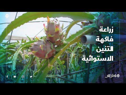 فاكهة التنيين الدراجون فروت شباب من أسفي ينجحون في زراعة فاكهة تعود أصولها إلى أمريكا الوسطى Youtube Aquarium Ill