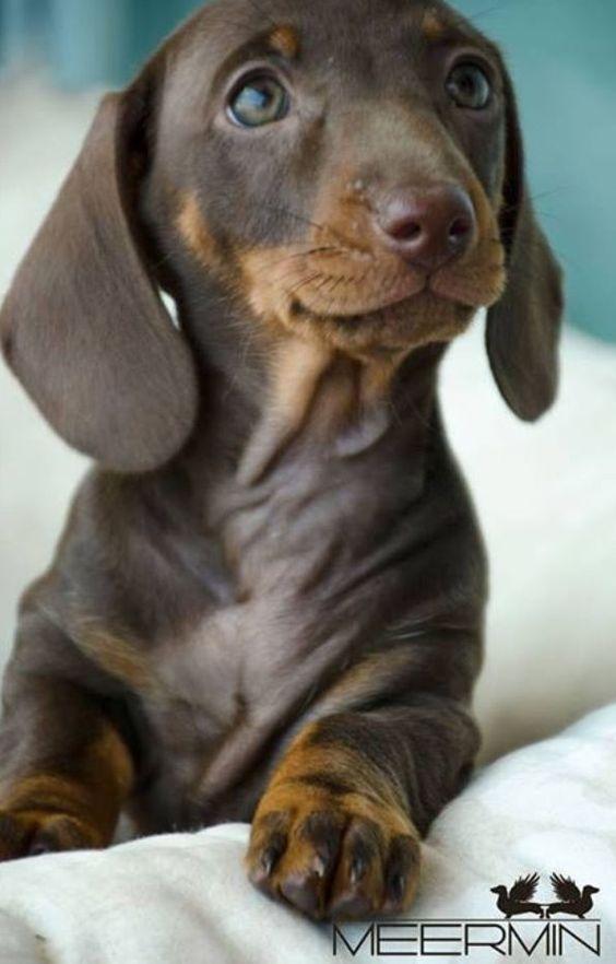 Cute Dachshund Puppy Sausage Dog Dachshund Puppy Doxie Weiner Dog