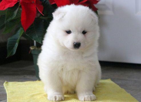Samoyed Puppy For Sale In Mount Joy Pa Adn 58215 On Puppyfinder
