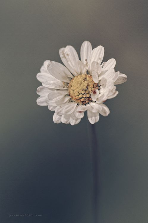daisy by yavuzselimturan  on 500px