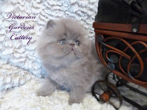 5 Week Old Solid Lilac Persian Kitten Himalayan Kitten Persian Kittens For Sale Persian Kittens