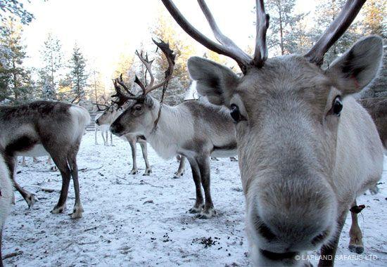 reindeer-rovaniemi