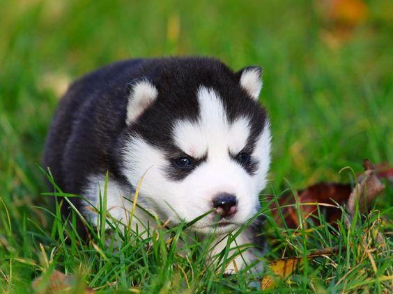 Husky-Welpe
