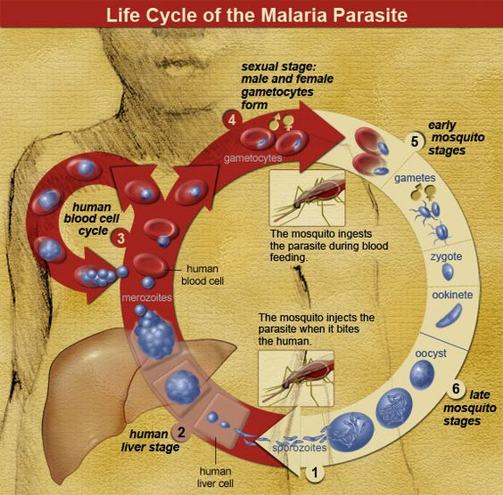 malaria | Life Cycle of the Malaria Parasite