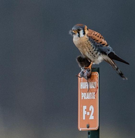 Pin Von Mirwin71 Auf Falco Sparverius