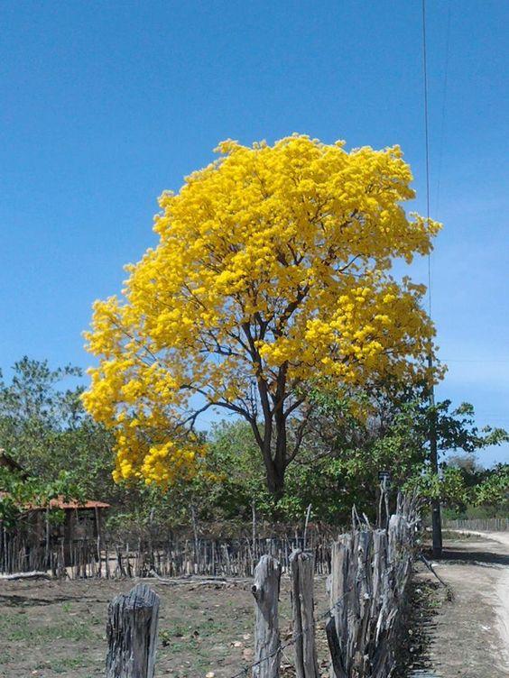 A paisagem rural de Piripiri, no Piauí, Brasil, ficou iluminada quando este ipê amarelo floresceu.  Fotografia: Linda Mendes.: