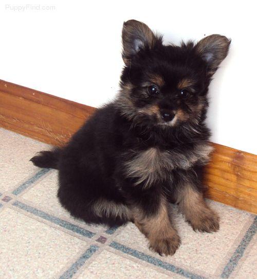 Pomeranian Mixed With Yorkie Black pomeranian yorkie mix ...