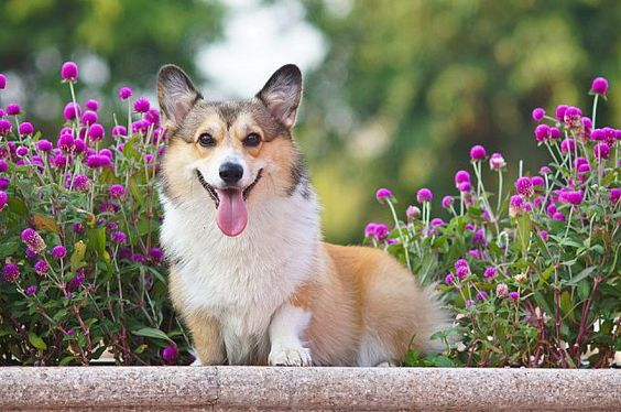corgi in the flowers