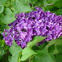 Lilacs: How to Plant, Grow, and Care for Lilac Shrubs. I love lilacs!