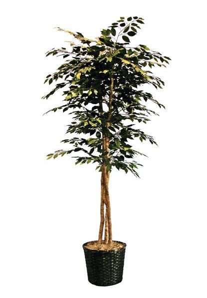 A little greenery goes a long way! Try staging two 6 foot tall Ficus trees in your entryway on either side of the door for a lush, green look.   Ficus Tree cort.com