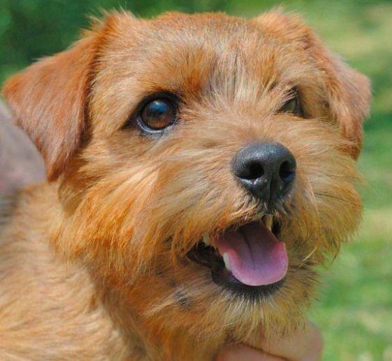 Terriers Norfolk Terriers Norfolk Terrier Norwich Terrier Terrier