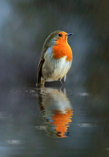 Robin in the rain by Lyn Evans