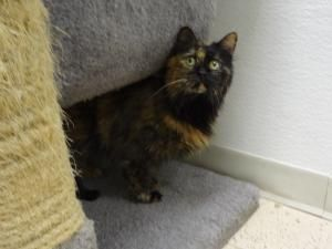 Samantha is an adoptable Calico Cat in Pekin, IL. A sweet hello from Samantha. I am here at the shelter because my owner was getting on in years and unable to take care of me anymore. It's heartbreaki...