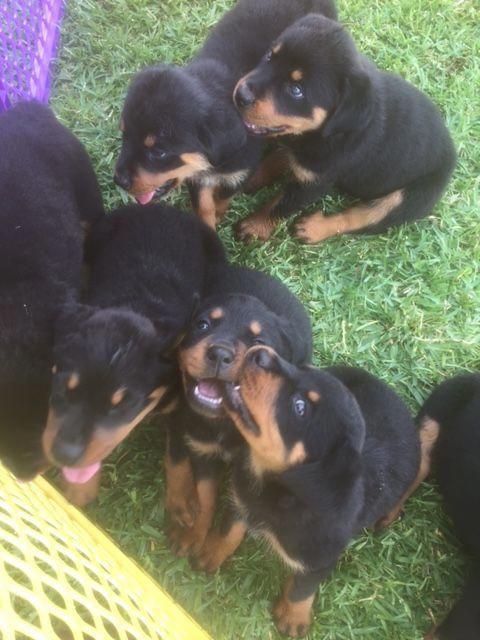 Rottweiler Puppy For Sale In Alvin Tx Adn 32206 On Puppyfinder