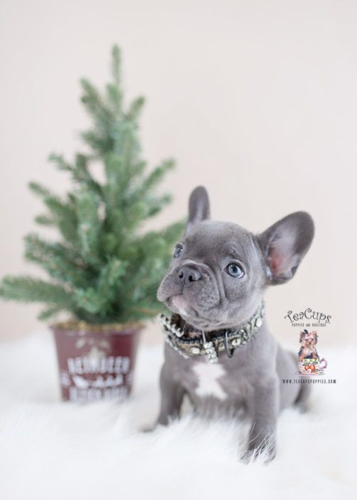 Blue French Bulldog Puppy For Sale Teacup Puppies 416 A Teacup Puppies French Bulldog Puppies Blue French Bulldog Puppies