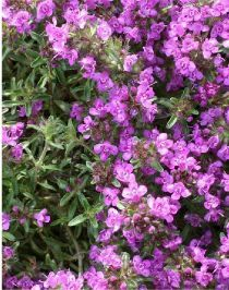 Thymus serpyllum Purple Beauty