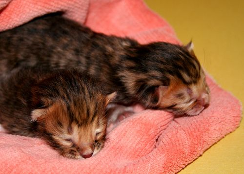 Newborns by Toygers kittens.