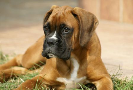 Boxer Dog Training Overview - How to train a boxer dog. http://ownedbyaboxer.com