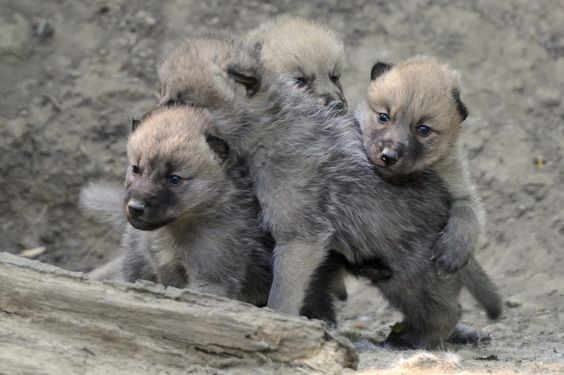 Arctic Wolf Cubs - One cuter than the other by Josef Gelernter / 500px)