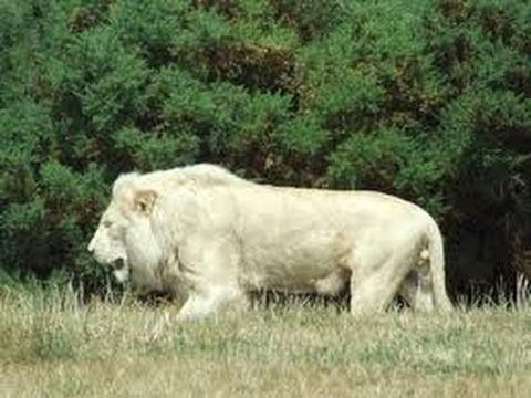 Documentaire animalier Le Lion Blanc HD National Geographic - http://movies.chitte.rs/documentaire-animalier-le-lion-blanc-hd-national-geographic/