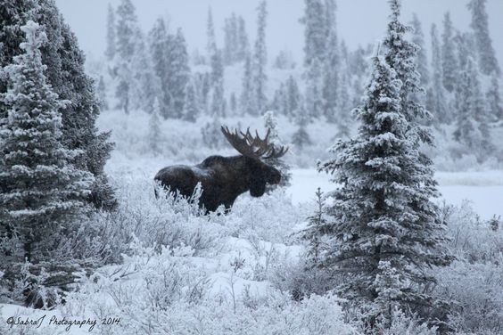Alaska Photo Mosaic - Entry Sabra Neyman Lake Louise, AK His Majesty the magnificent Alaskan Bull Moose seen from Lake Lo: