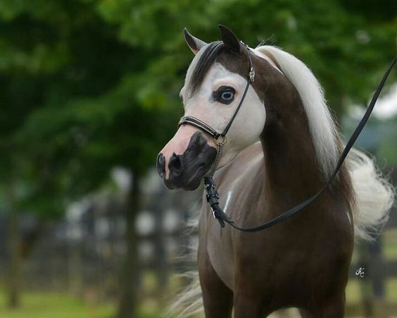 To an outsider, horses just look like normal horses but some you can identify by their unusual markings. Description from horsemart.co.uk. I searched for this on bing.com/images