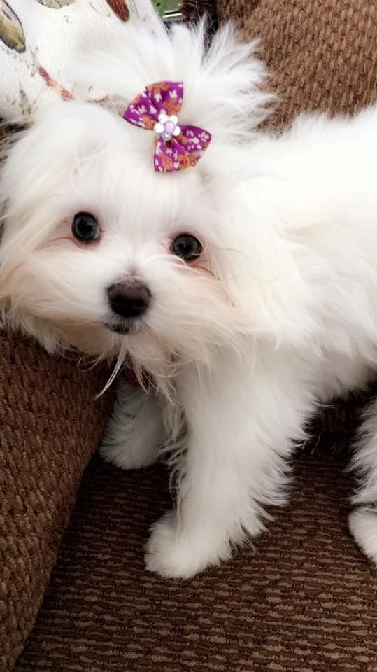 Maltese Maltese Dogs Dogs Cute Dogs
