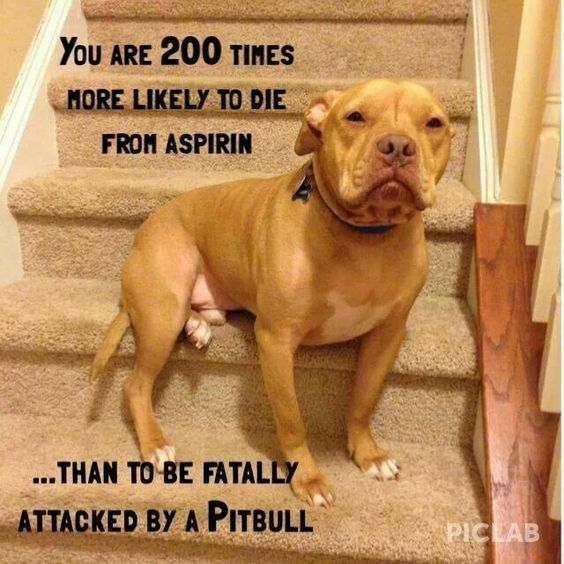 the truth about pitbulls Excerpt from zak george's dog training revolution: the complete guide to raising the perfect pet with love no other dog breed has fallen victim to stereotypes as much as pit bulls have i've worked with hundreds of these dogs, and almost all of them were sweet, loving, and highly.