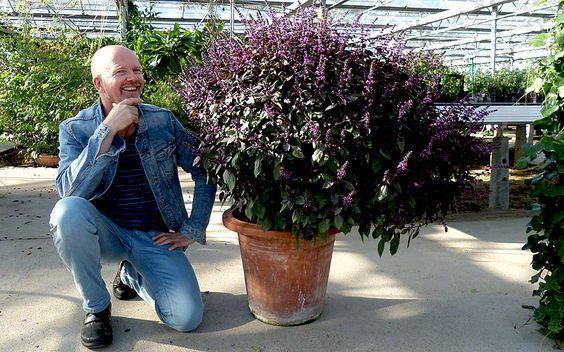 Basilikum 'Wildes Purpur' (Pflanze)