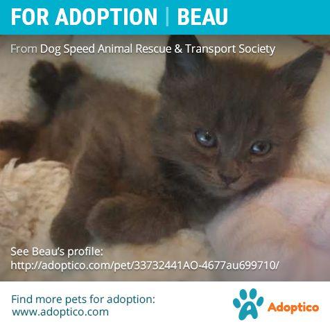 http://adoptico.com/cat-adoption/male-mongrel/arthur-ontario/33732441AO-4677au699710/  #catForAdoption #catAdoption #forAdoption #petForAdoption #petAdoption #ontario #pet #cat #animal #adoption #cute #kitten #young #arthur #tiny