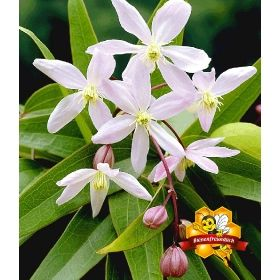 PN6754 Pflanzen - Baum & Strauch - Kletterpflanzen - Duft-Clematis 'Armandii',1 Pflanze