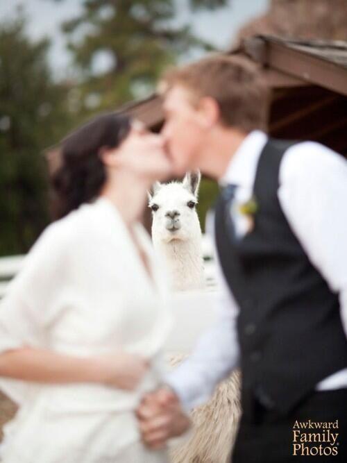 Omg I wanna take a picture like this so bad! I love alpacas!