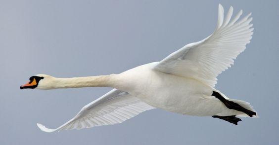 cisne branco...