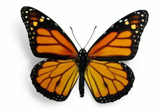 Lot of 10 Magnificent Monarch Butterfly Danaus plexippus Folded FAST FROM USA
