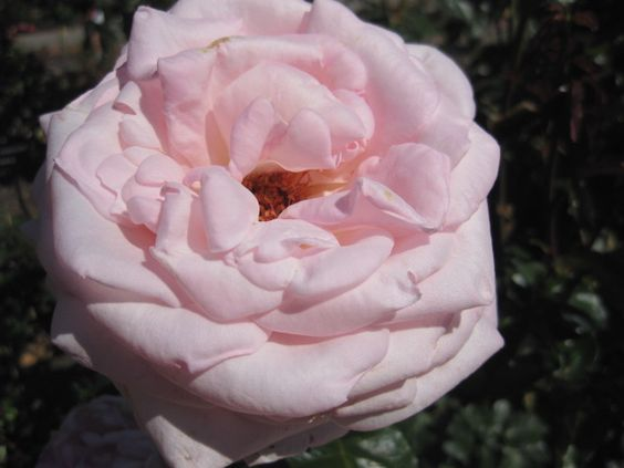Pink Cotton Candy Rose by Christiana at the Rose Garden