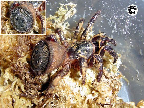 "Cyclocosmia ricketti ""Guangxi Turret Rump Trapdoor Spider"""