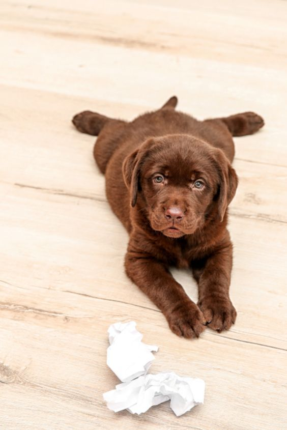 Pin By Nirmaliz Colon On Just Doggies 3 Labrador Puppy Chocolate Labrador Retriever Labrador