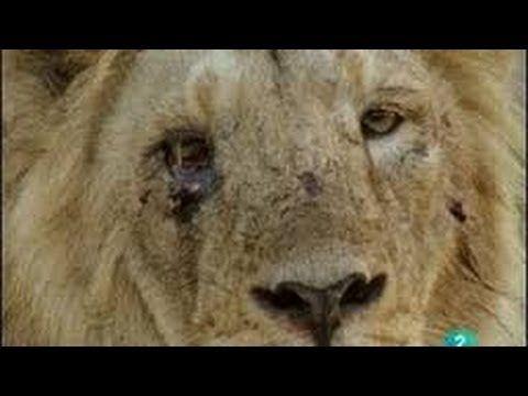 Documental de Leones - La verdad sobre los Leones - Especial National Ge...