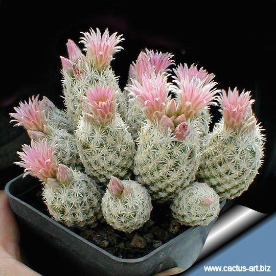 Kaktusi - Page 4 Fa512fccce5c9041119629aa34010b95