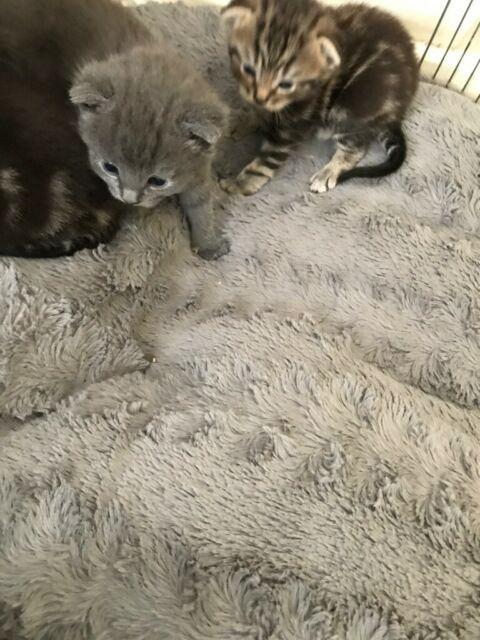 5 Gorgeous Kittens For Sale In Port Seton East Lothian